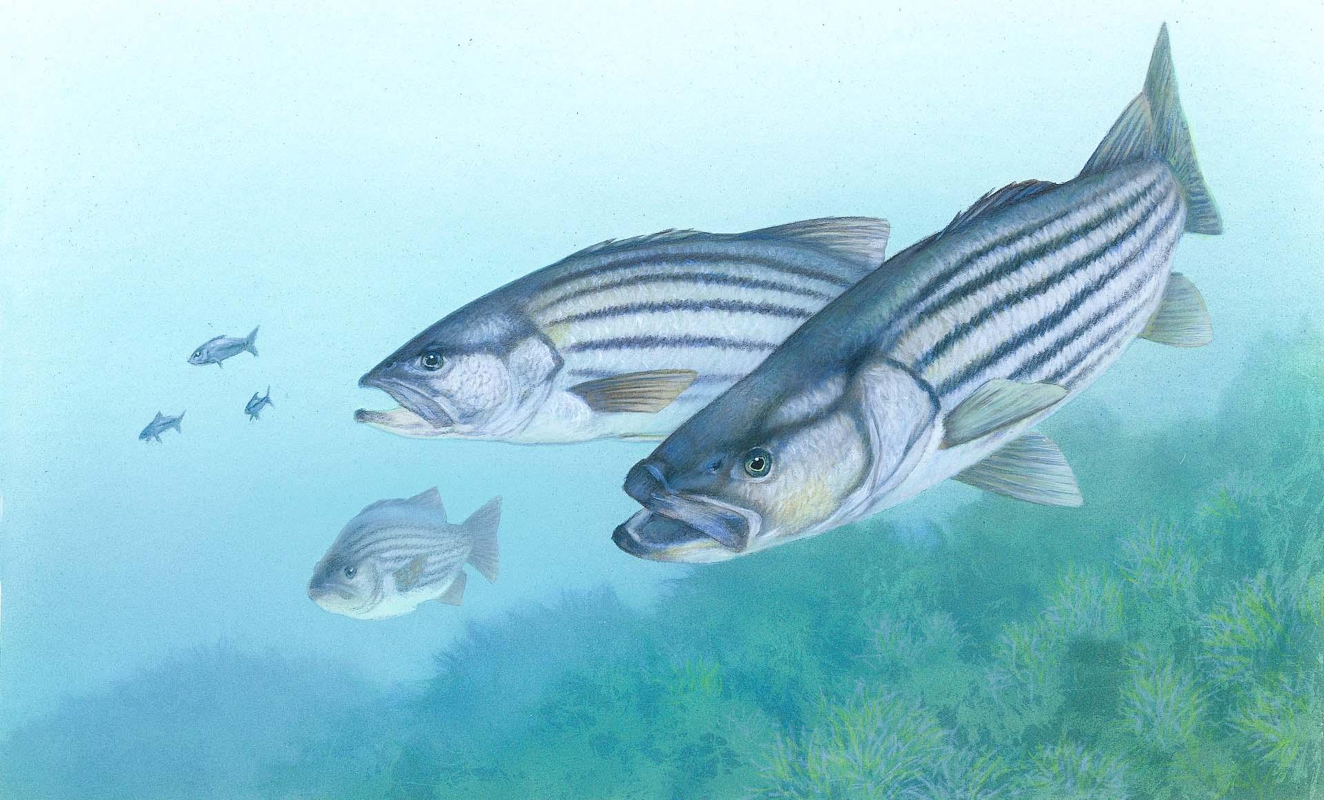 据珠海检验检疫局统计,2017年,珠海水产加工制品出口量达9992吨,货值突破2亿美元,分别较去年增长了69.97%和83.5%。其中,冻海鲈鱼片属新增出口品种,货值却达1.2亿美元,实现井喷式增长。  水产养殖业是珠海的特色支柱产业,其中海鲈鱼养殖面积2.4万亩,产量占到全国的75%。然而,当地海鲈鱼产业以初级产品为主,产品附加值低,目前面临市场饱和、供大于求的困境。为服务地方产业转型升级,珠海检验检疫局放、管、服并举,多种举措力促出口海鲈鱼深加工产品海外市场的开拓。 发挥技术优势,帮扶企业质量提升。