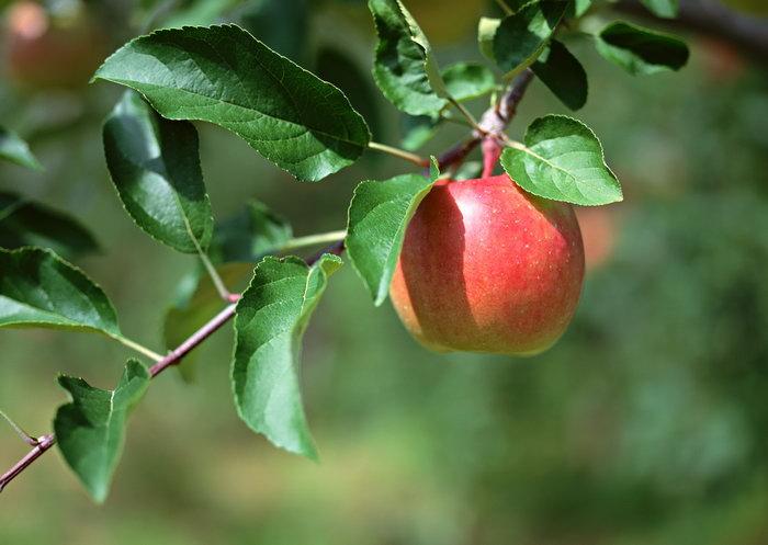 苹果树要高产 浇水有道道