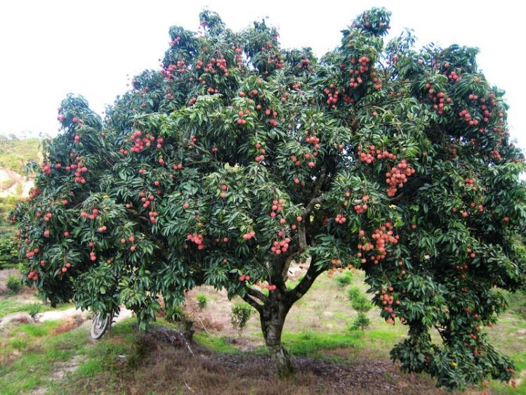 荔枝树施用有机肥
