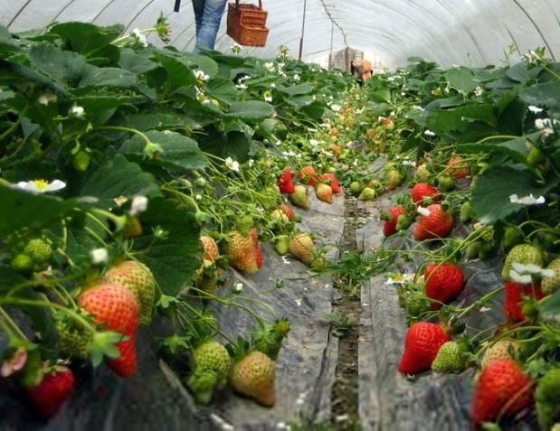 种草莓一般怎么施肥?用什么有机肥好?