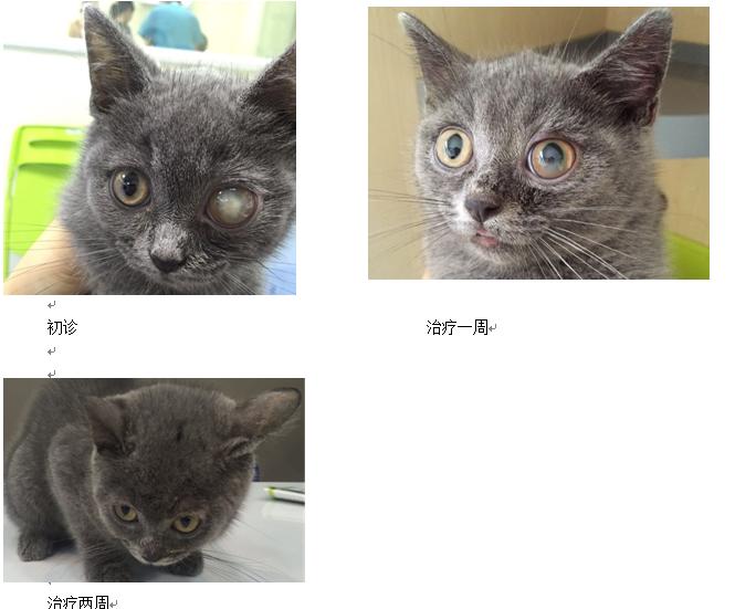 一例猫前房积脓诊治