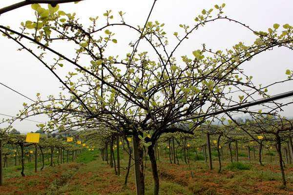 种猕猴桃一般怎么施肥?用什么有机肥好?