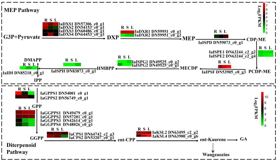 集思慧远客户发表——《王枣子根、茎和叶的比较转录组分析揭示了王枣子素生物合成的候选基因》