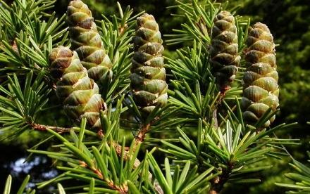 集思慧远客户发表文章《长苞铁杉完整的叶绿体基因组》