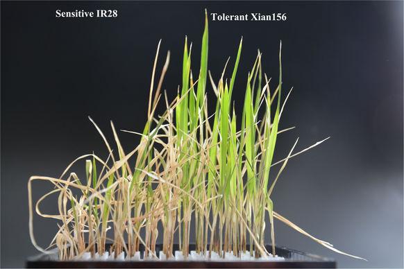 集思慧远客户发表文章《比较转录组分析揭示籼稻苗期耐盐敏感基因型对盐胁迫的分子响应》