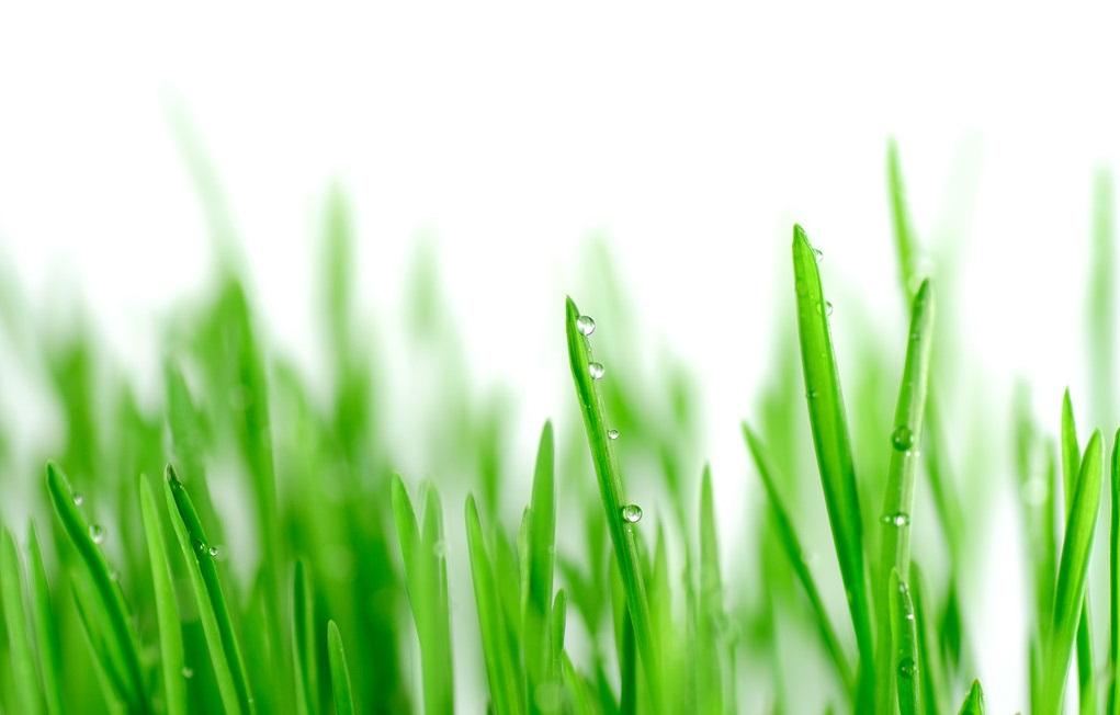 BSR策略对小麦抗白粉病QTL定位