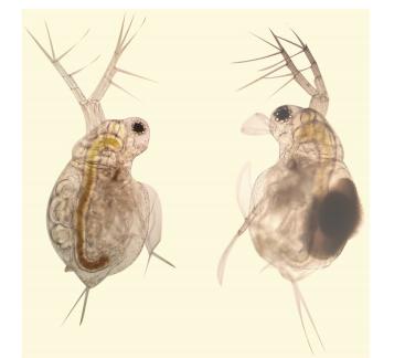 环境胁迫下转录和翻译关系的研究:RNAseq和iTRAQ分析微型裸腹蚤有性繁殖和孤雌生殖