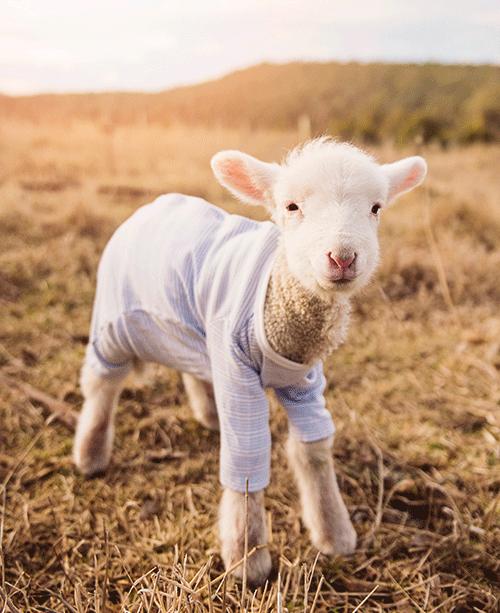 【解析答疑】婴幼儿是喝羊奶粉好还是和牛奶粉好?